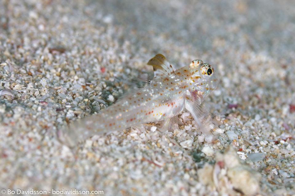 BD-111127-Raja-Ampat-5389-Fusigobius-longispinus.-Goren.-1978-[Orange-spotted-sand-goby].jpg